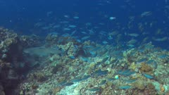 School of Double-lined Fusiliers and a Whitetip Reef shark on a slope of a colorful coral reef. 4k footage