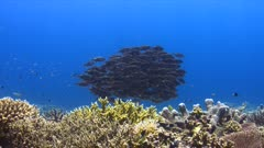 Colorful coral reef with a school of Striped Large-eye Breams. 4k footage