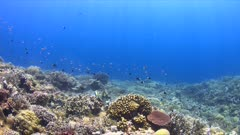 Colorful coral reef with a Titan Triggerfish and plenty of small fish. 4k footage