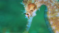 Thorny Seahorse. Close up of the head. 4k footage