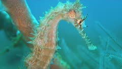 Thorny Seahorse. 4k footage