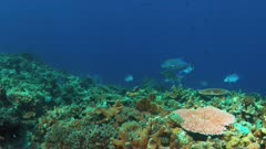 Coral reef with Bluefin Trevallies and  Longface emperor