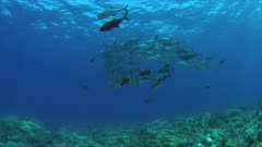 School of Trevallies on a coral reef.  4k footage