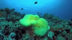 Clownfish in a yellow sea anemone. 4k footage