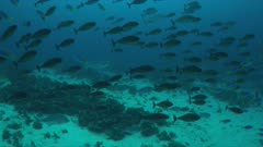 School of Unicornfish and Fusiliers. 4k footage