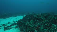 Coral reef with sandy areas, Whitetip Reef Shark and Triggerfishes. 4k footage