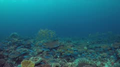 Colorful coral reef with a school of Yellowfin Goatfishes and Striped Large-eye Breams. 4k footage