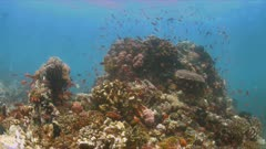 Coral reef with healthy hard and soft corals and plenty of fish. Butterflyfish, Anthias and Damselfish. 4k footage