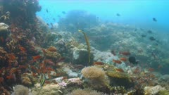Coral reef with healthy hard and soft corals and plenty of fish. Trumpetfish, Anthias and Damselfish. 4k footage