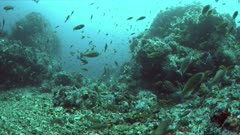 Canyons - coral reef with plenty fish. Sweetlips, Snapper and Anthias 4k footage