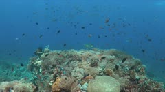 Colorful coral reef with a Diagonal-banded Sweetlip and plenty small fish. 4k footage