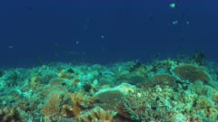 Whitetip reef shark on a colorful coral reef with plenty fish. 4k footage