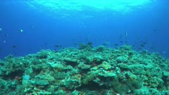 Redfin Breams on a colorful coral reef with plenty fish, Monotaxisheterodon - Emperors, Lethrinidae. 4k footage