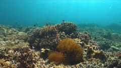 Tomato Anemonefish on a coral reef with plenty fish. Damselfishes - Pomacentridae, Amphiprion frenatus 4k footage