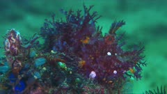 Weedy Scorpionfish - the Rhinopia