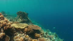 Clown Triggerfish on a colorful coral reef with healthy hard corals. 4k footage