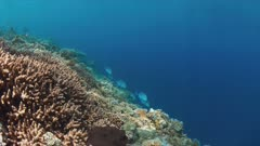 Colorful coral reef with Bluefin Trevallies