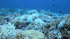 Coral bleaching on Apo Reef, Philippines May 2016