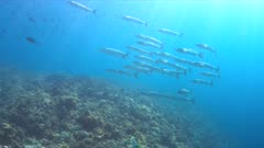 Blackfin Barracudas on a Coral reef. 4k footage