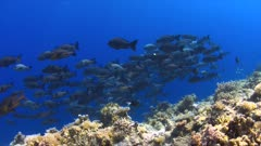 School of Black Snapper on a coral reef in Philippines. 4k footage