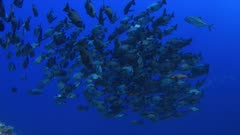 A school of black snapper swimming on a coral reef. 4k footage