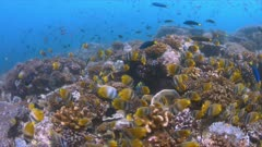 School of Butterflyfish on a coral reef. Many Anthias, Damselfishes and Crecent Wrasses around 4k footage