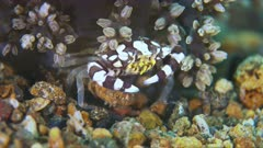 Harlequin Swimming Crab. Portunidae, Lissocarcinus laevis. Close up