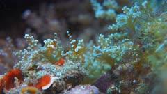 Squat Shrimps, Broken back Shrimp - Thor amboinensis, Hippolytidae. Close up, 4k footage