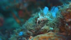 Spiny Tiger Shrimp, Harlequin Shrimp - Hymenoceridae, Phyllognathia ceratophthalmus. Close up, 4k footage