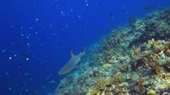 Whitetip reef shark on a coral reef. 4k footage