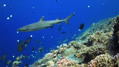 Edge of a colorful coral reef with Whitetip Reef Sharks and plenty fish. 4k footage