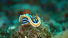 Dorid Nudibranch. Chromodorididae, Chromodoris magnifica. 4k footage