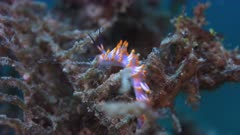 Aeolid Nudibranch. Tergipedidae, Cuthona sibogae. 4k footage