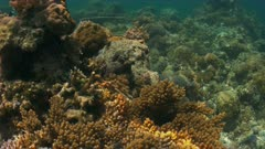 Colorful reef with healthy hard and soft corals and a Octopus. 4k footage