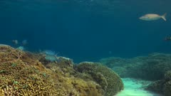 Coral reef with Bluefin Trevallies and healthy hard corals. 4k footage
