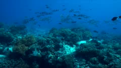 Colorful coral reef with healthy corals and a school of Snapper. 4k footage