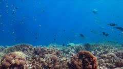 Colorful coral reef healthy Staghorn corals and plenty fish. 4k footage