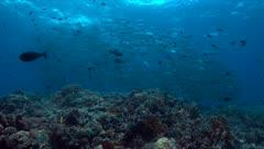Colorful coral reef a school of Big-eye Trevallies. 4k footage