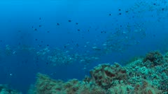 Colorful coral reef with a school of Black Snapper and plenty small fish. 4k footage
