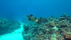 Yellowmargin Triggerfish on a colorful coral reef. 4k footage