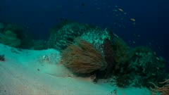 Stingray on sandy bottom of a colorful coral reef. 4k footage
