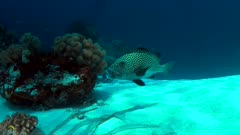 Harlequin sweetlips with a cleaner wrasse on a coral reef in Philippines. 4k footage