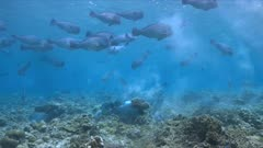School of Humphead Parrotfishes on a coral reef. 4k footage