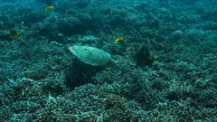 Hawksbill turtle on a Coral reef while eating. Together with Bannerfishes and Angelfishes 4k footage