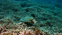 Hawksbill turtle on a Coral reef while eating. Together with a Angelfishes 4k footage