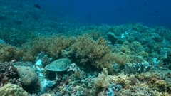Hawksbill turtle on a Coral reef while eating. A small Whitetip Reef Shark passing by 4k footage