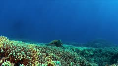 Hawksbill turtle on a Coral reef. 4k footage