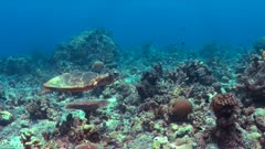 Hawksbill turtle swims on a colorful coral reef. 4k footage