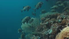 Harlequin sweetlips on a coral reef in Philippines. 4k footage