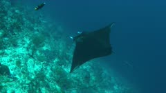 Manta ray swims on a coral reef. 4k footage